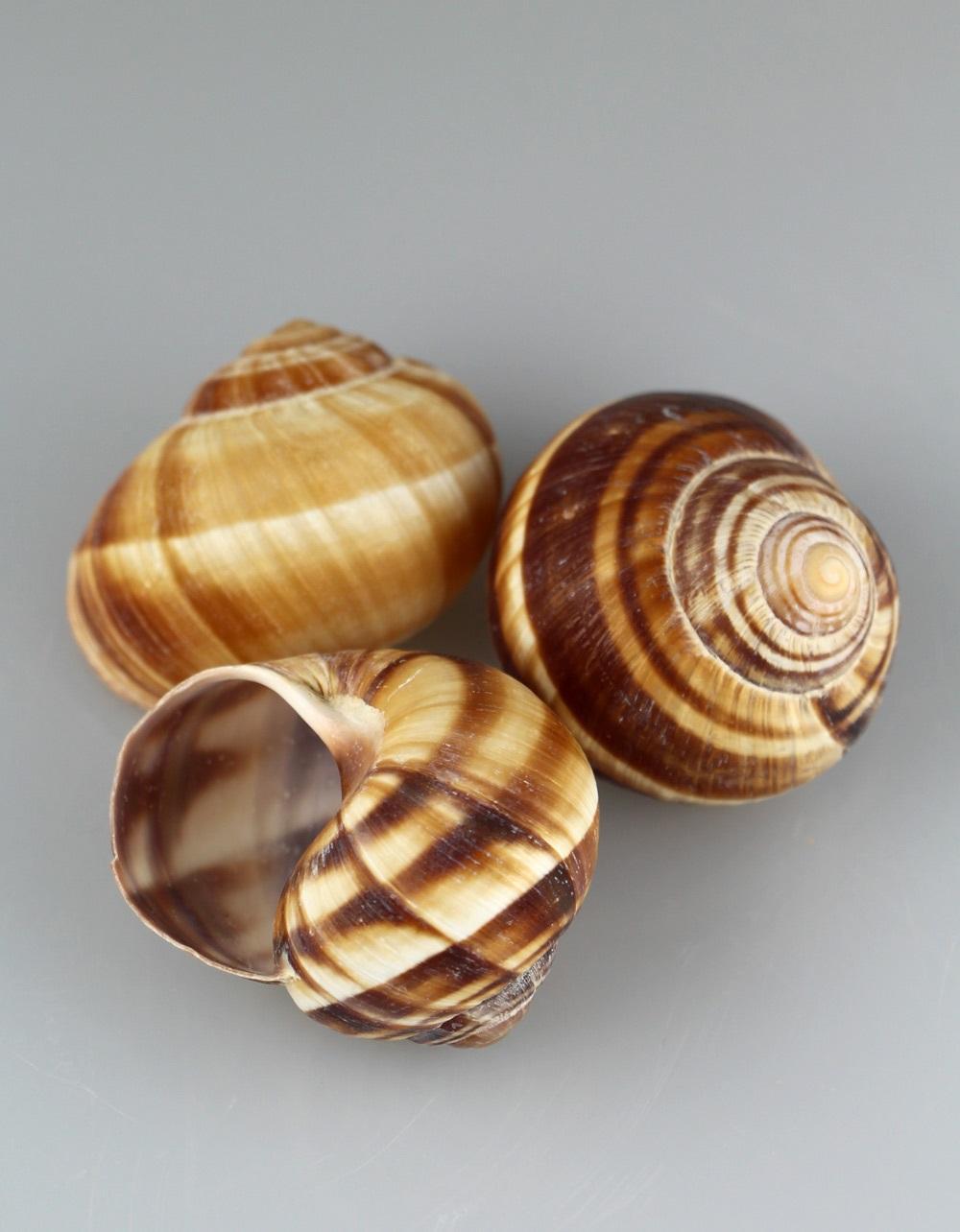 Snail Shells in Bulk Box 72 pieces